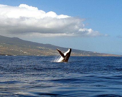 Une baleine dans la baie de Saint-Leu